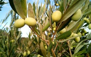 Hrvaška, Nasad oliv